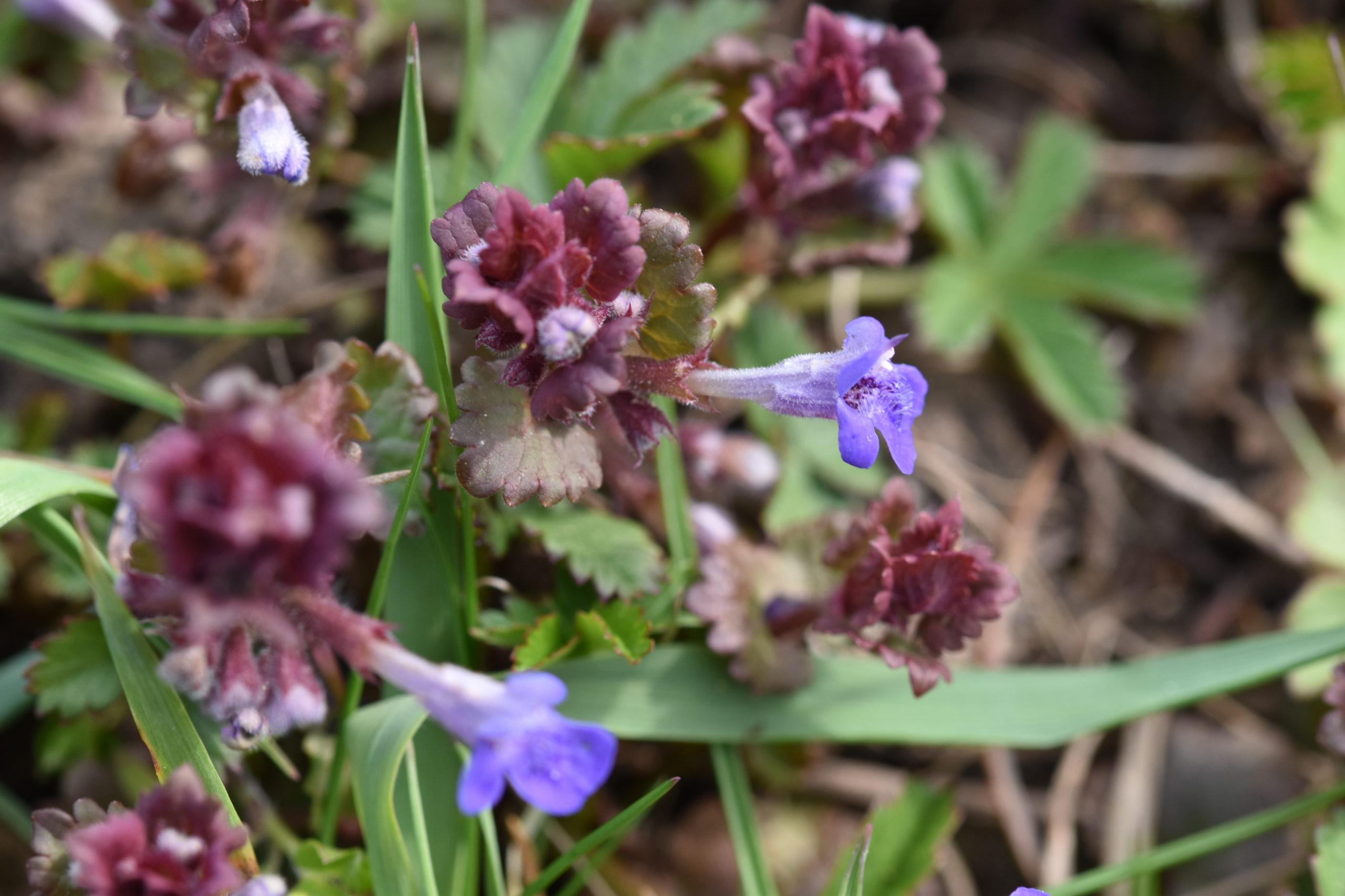 Blüten Gundermann für Bienen