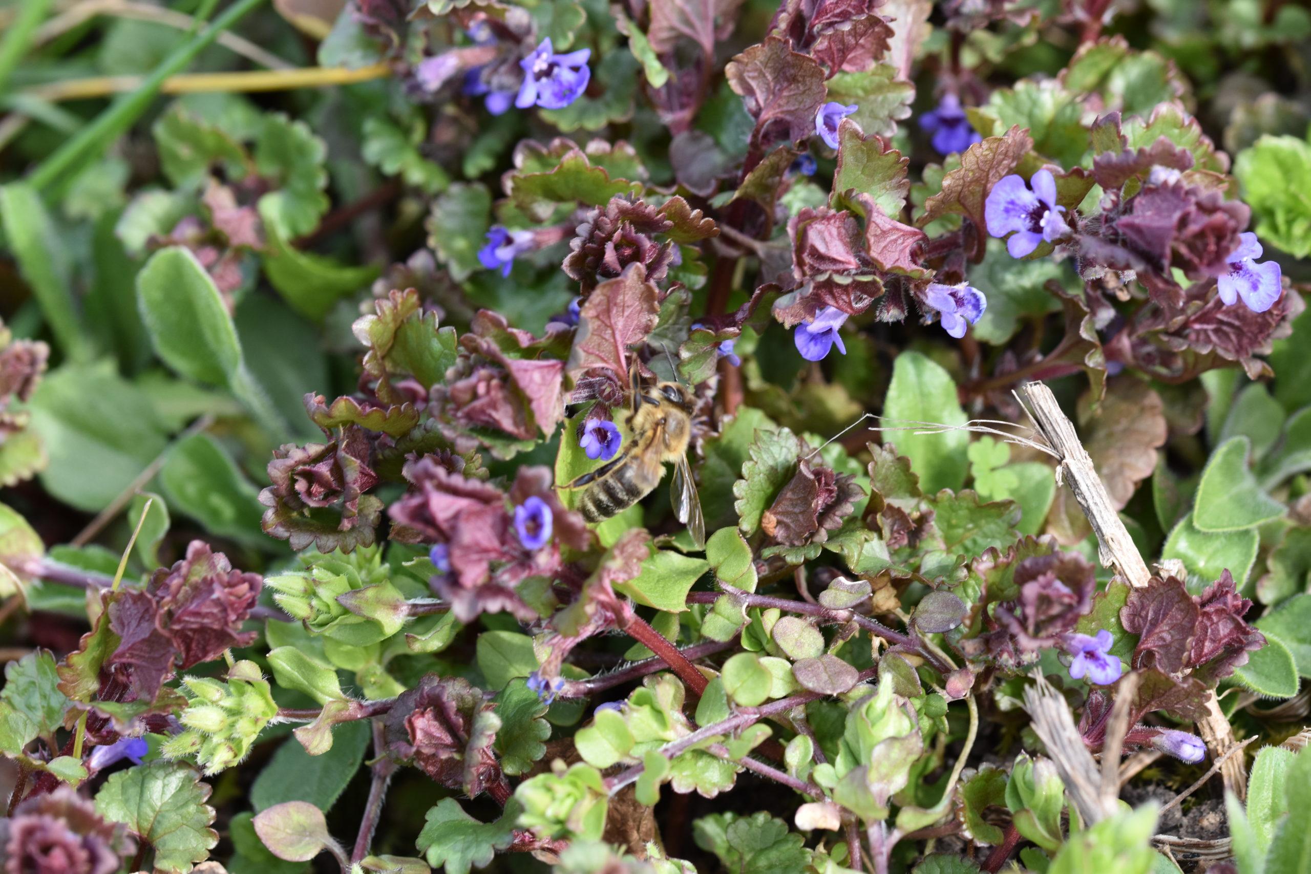 Blüten des Gundermanns mit Honigbiene