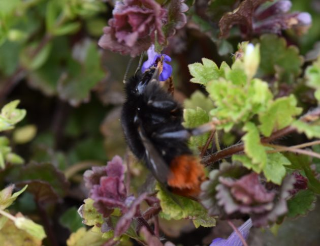 Beitragsbild Gundermann Bienen - Steinhummel an Gundermannblüte