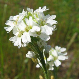 Graukresse - Darstellung der Blüte