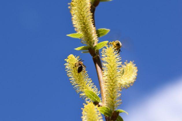 Immerblühende Mandelweide - Darstellung der Blüte