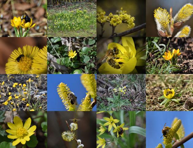 Gelbe Frühblüher - eine Übersicht