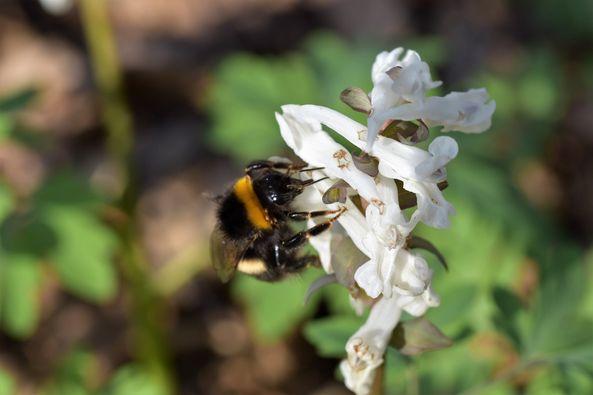 Bienenarten - Erdhummel am Hohlen Lerchensporn