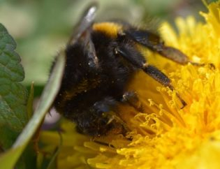 Bienenarten - Hummel auf Löwenzahn