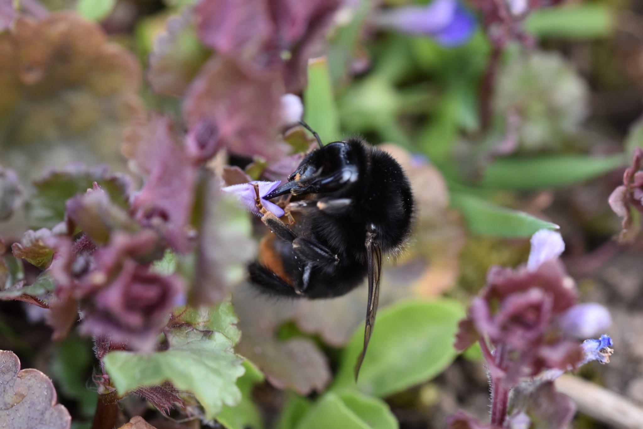 Bienenarten - Steinhummel an Gundermann