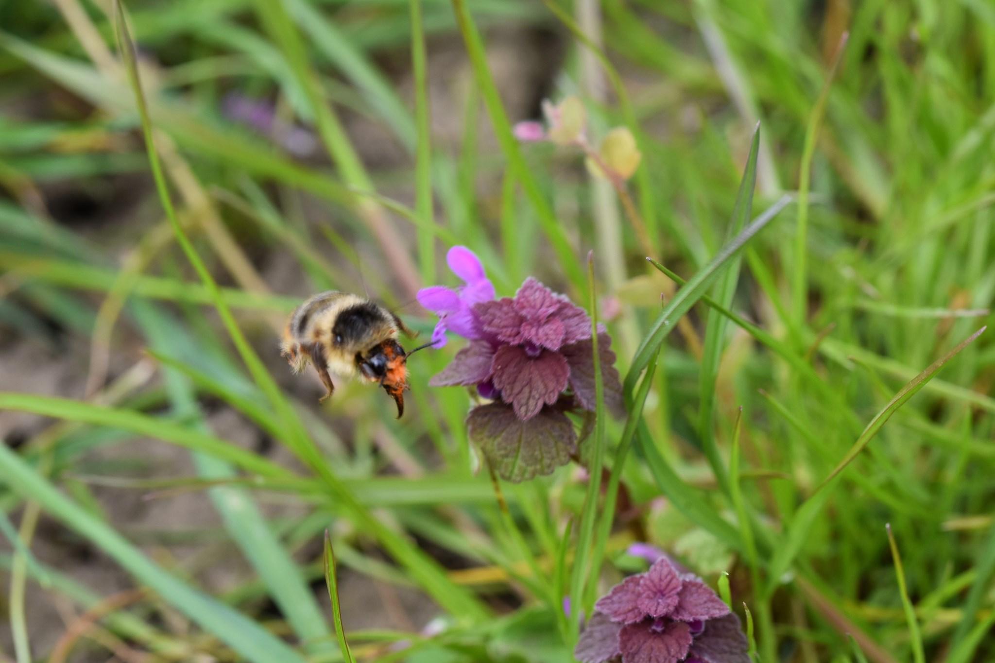 Frühlingspelzbiene in einer Wiese