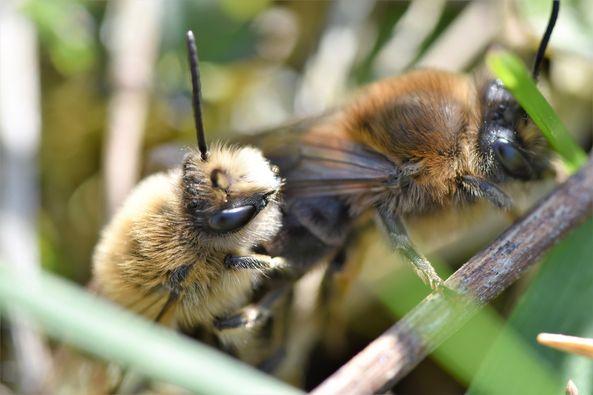 Frühlingsseidenbienen bei der Paarung