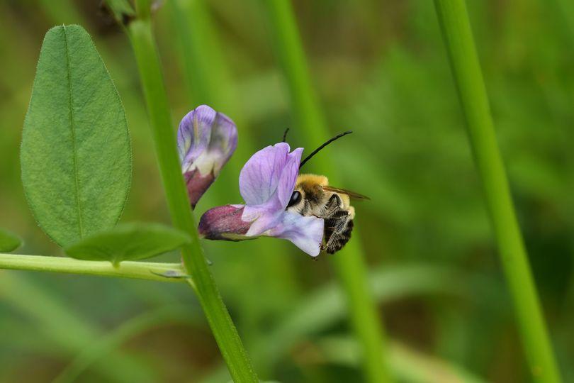 Langhornbiene an Platterbse