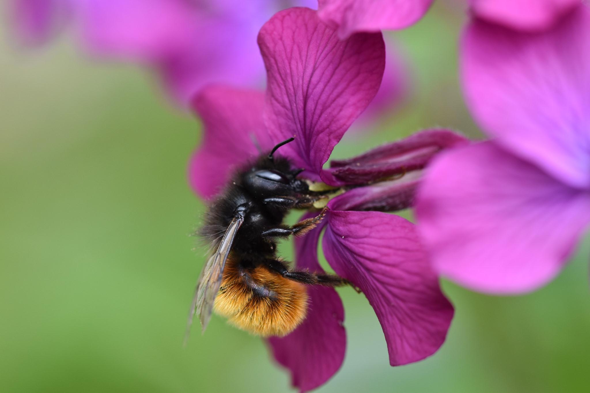 Bienenarten - Mauerbiene am Silberblatt