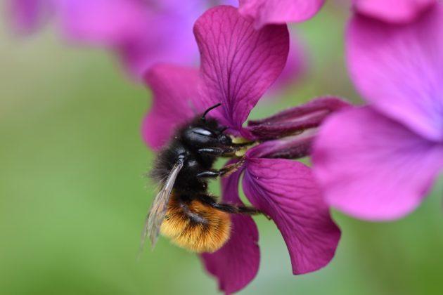 Silberblatt - Wildbiene auf Blüte Blüte