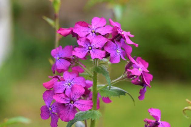Silberblatt - Darstellung der Blüte