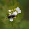 Wildbiene auf Knoblauchsrauke