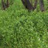 Knoblauchsrauke - Darstellung von Pflanzen