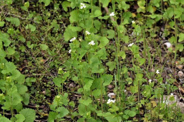Knoblauchsrauke - Darstellung der Pflanze