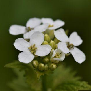 Knoblauchsrauke - Darstellung der Blüte