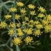 Fenchel - Darstellung der Blüte