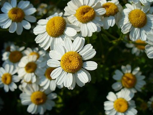 Mutterkraut - Darstellung der Blüte