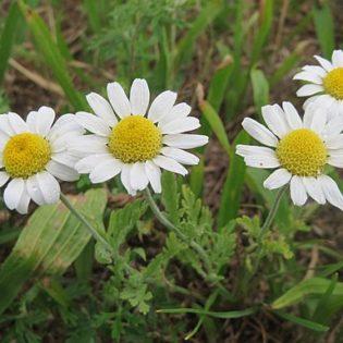 Acker Hundskamille - Blüte