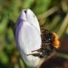Beitrag Hummeln - Baumhummel auf Krokusblüte
