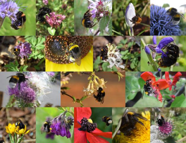Beitrag Hummeln - Fotocollage aus Einzelbildern von Hummeln auf Blüten