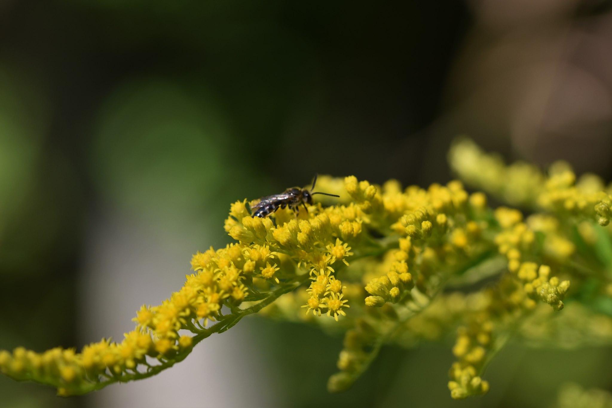 Wildbiene auf Blüte der Kanadischen Goldrute