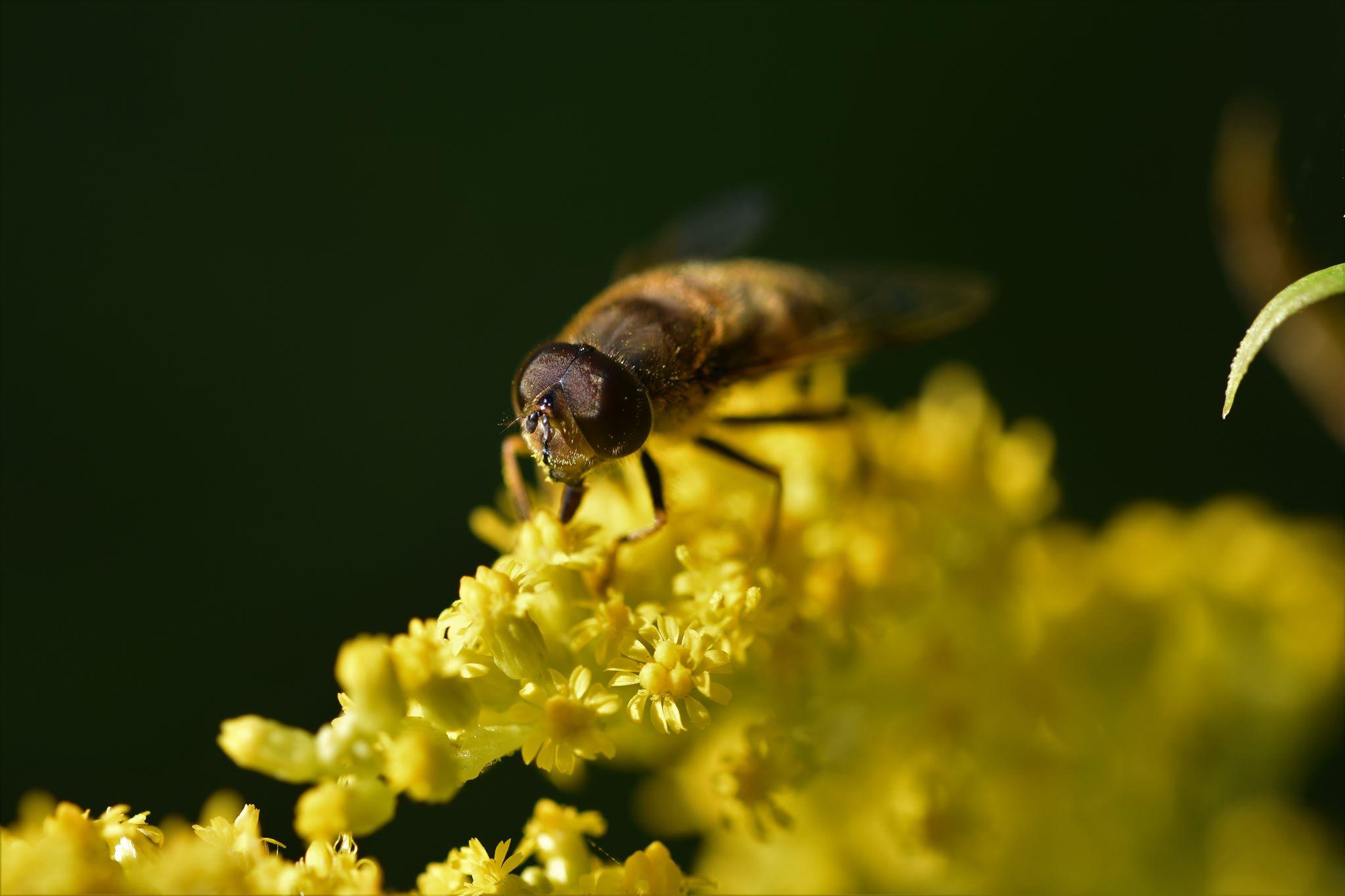 Kanadische Goldrute mit Fliege