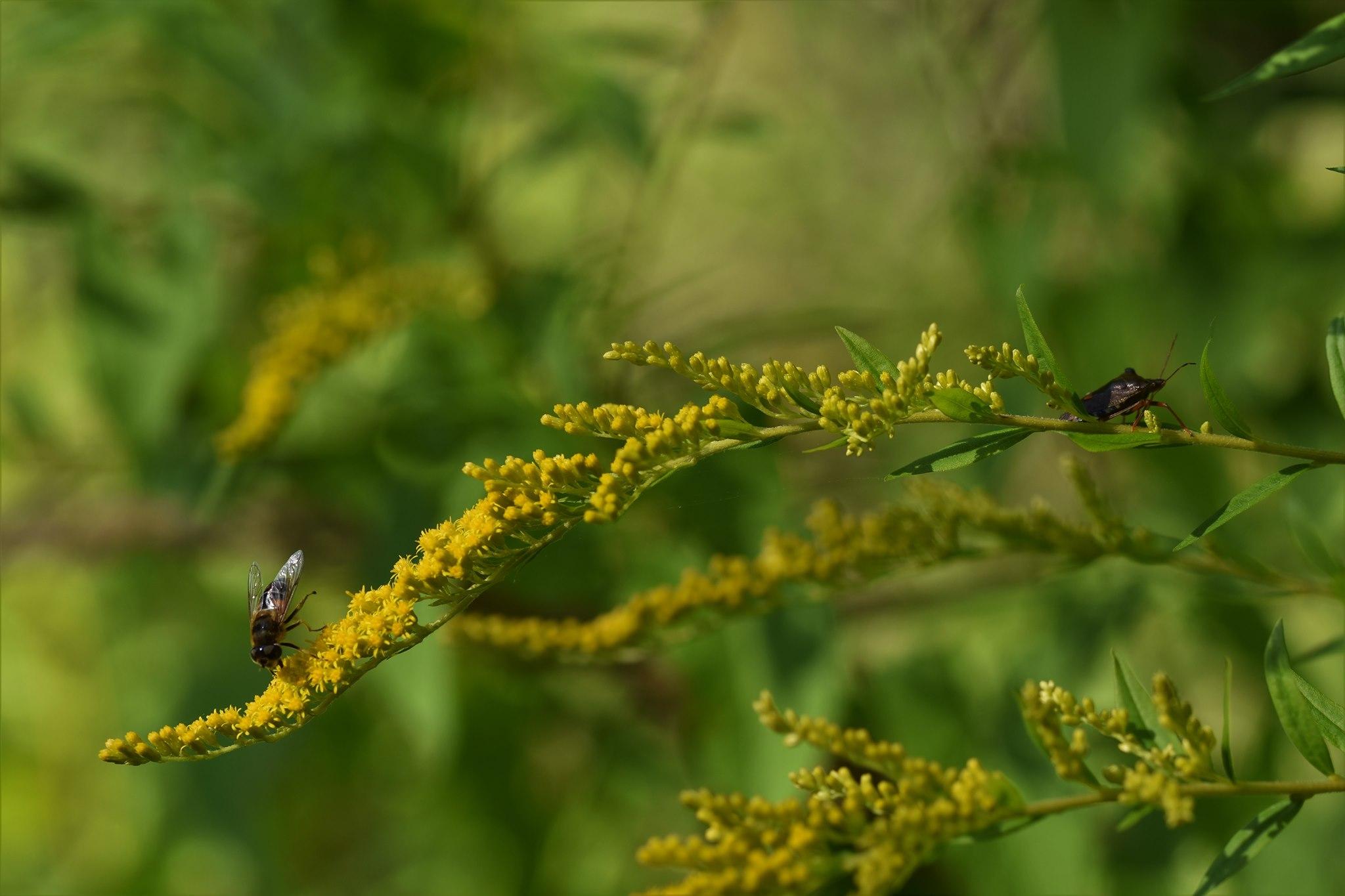 Goldrutenblüte mit Insekten