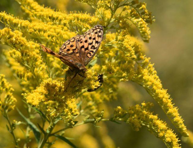 Kanadische Goldrute mit Schmetterling