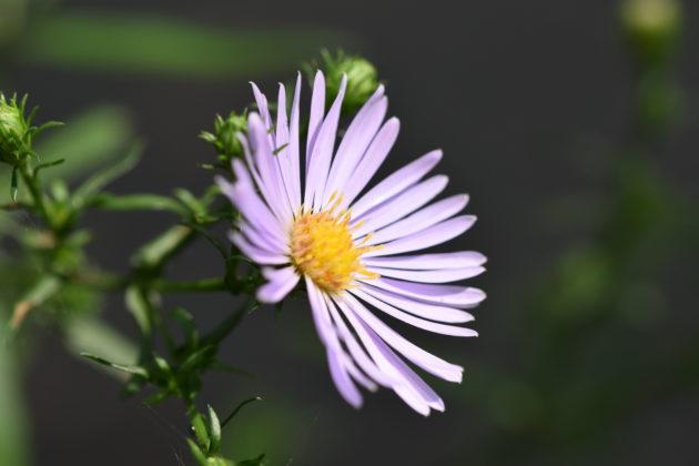 Blüte der Glattblatt-Aster
