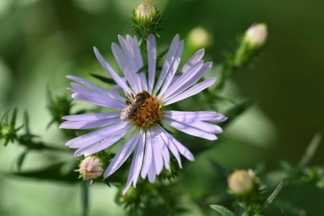 Wildbiene auf Blüte der Glattblatt-Aster