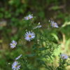 Blütenstand der Glattblatt-Aster