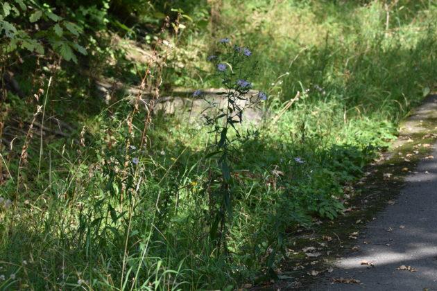 Glattblatt-Aster: Darstellung der Pflanze
