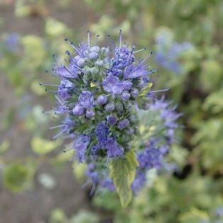 Bartblume - Darstellung der Blüte