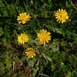 Kleinköpfiger Pippau - Darstellung der Blüte
