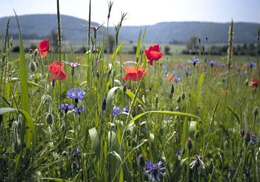 Feldrand mit einheimischen Wildblumen